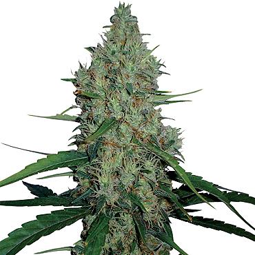 Медицински марихуана семена прикольные фото про коноплю